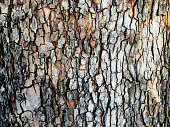 Bark of plane tree.
