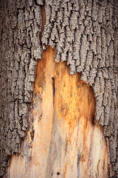 Bark of plane tree stock photo