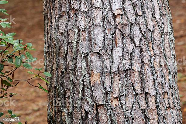 Photo of Bark of red pine