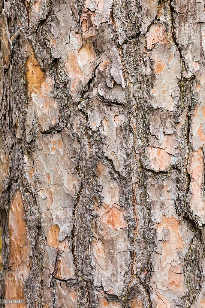 Bark of Scotch pine tree as background stock photo