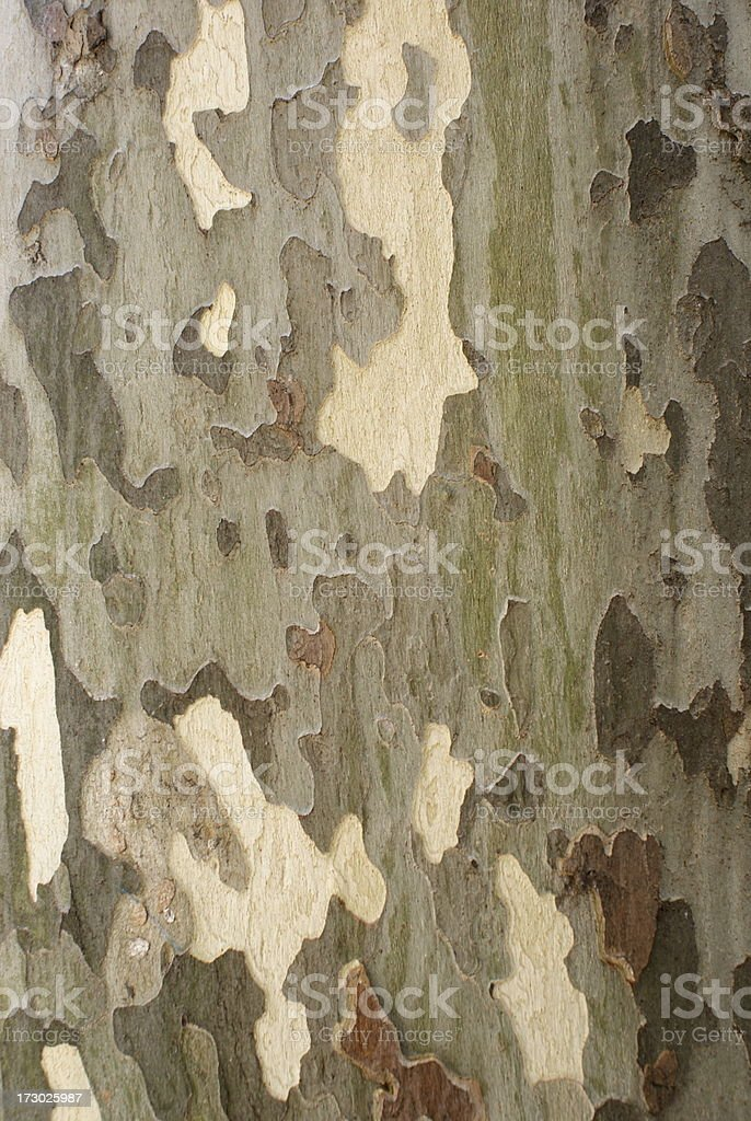 Bark of Sycamore Tree Background royalty-free stock photo