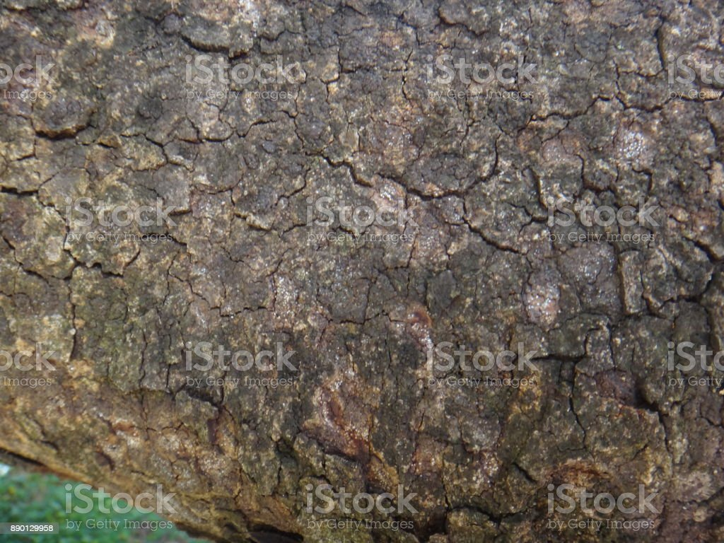 Bark of the trunk of cassie plant stock photo