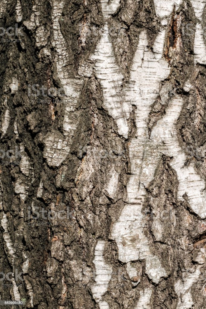 Bark of the trunk of old birch (Betula) stock photo