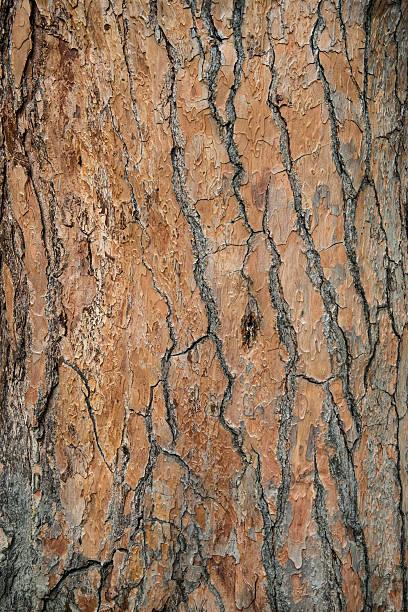 bark of tree cedar closeup. - treibholz wandkunst stock-fotos und bilder