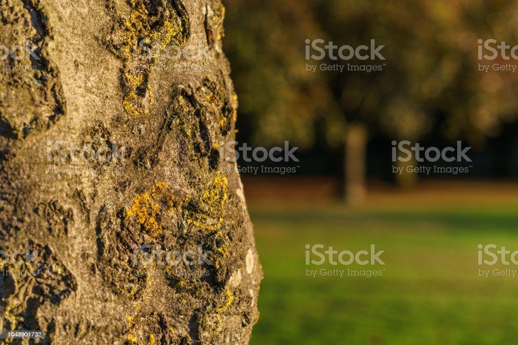 Bark de árbol - foto de stock