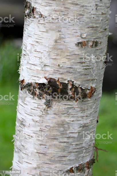 Photo of Bark of young Silver birch