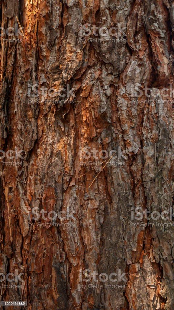 Écorce d'un arbre de pin - Photo