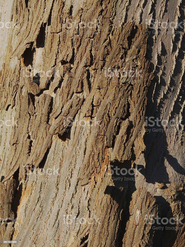 Bark on Eucalyptus Tree royalty-free stock photo