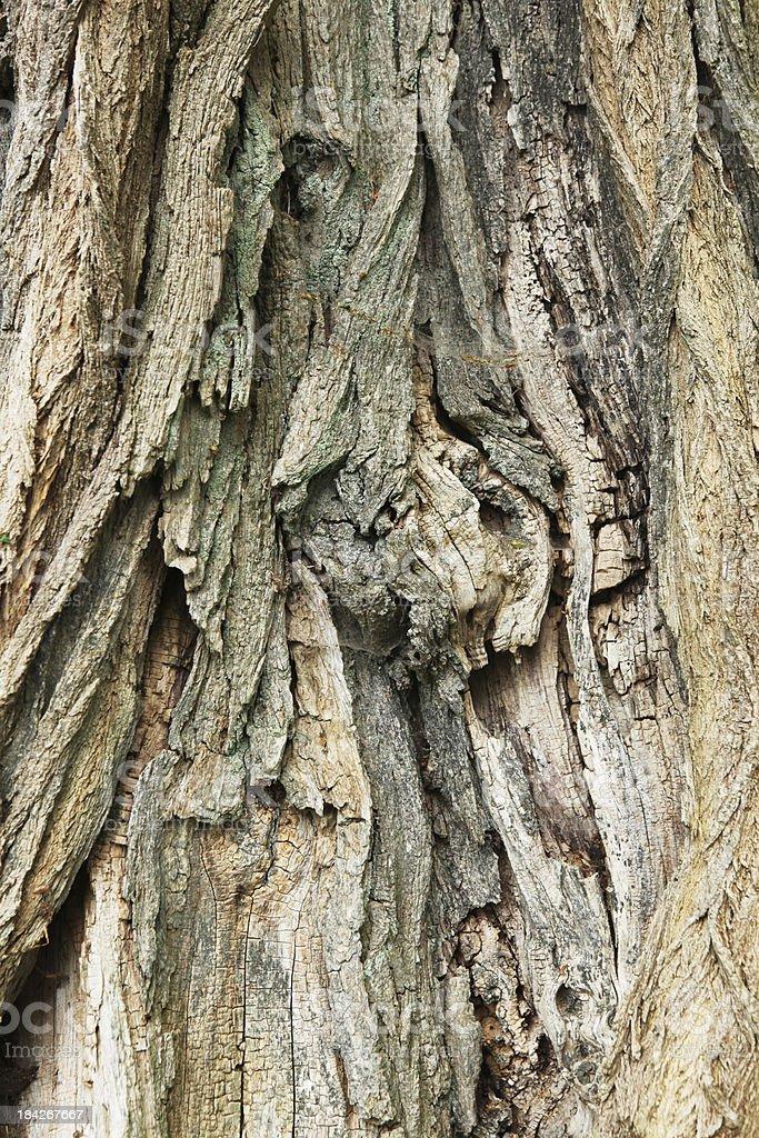 Bark on old Robinia tree stock photo