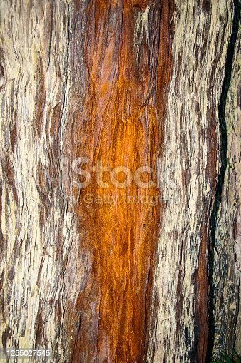 The name of Redwood tree is well named as can be seen from this section of a trunk with the red heart wood exposed