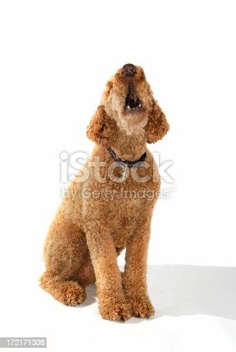 big standard poddle barking some motion blur