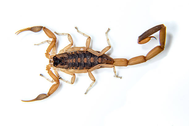 bark scorpion - scorpion stock photos and pictures