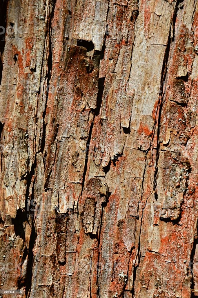 Bark wood texture of dawn redwood coniferous tree Metasequoia glyptostroboides, native to Lichuan county, Hubei, China stock photo