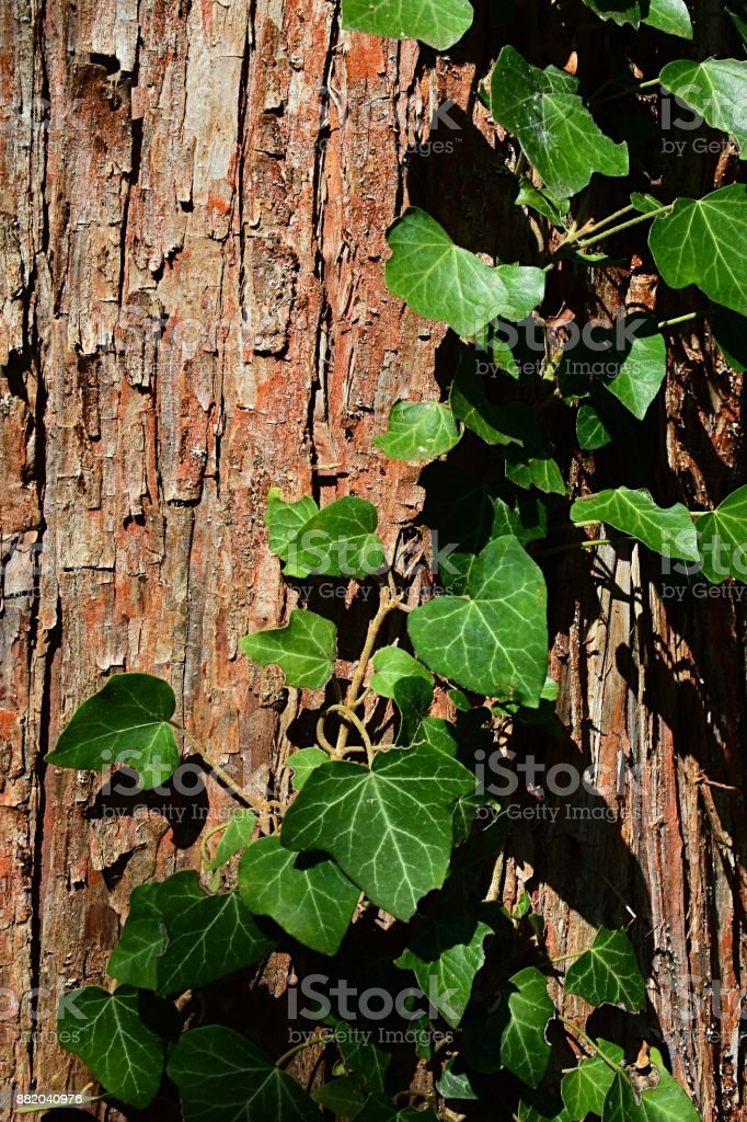 Bark wood texture of dawn redwood Metasequoia glyptostroboides with climbing plant common ivy Hedera Helix climbing on trunk surface. stock photo