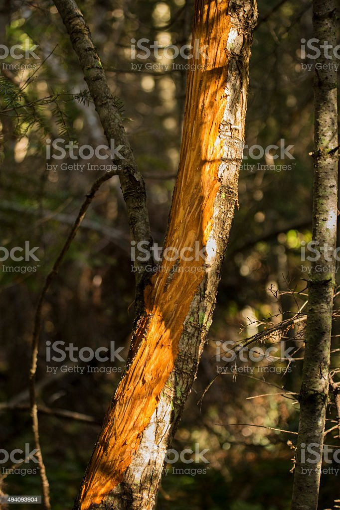 Bark wounds from moose rubbing velvet off its antlers, Maine. stock photo