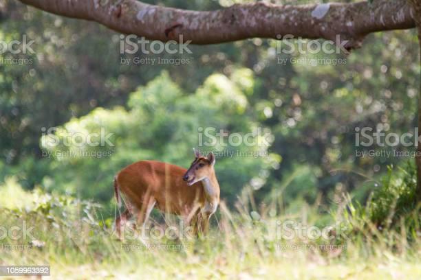 Barking deer in nature picture id1059963392?b=1&k=6&m=1059963392&s=612x612&h=wgdaf7xgt0xoort cfa zbua8gsor8cmsqtrxku0qyo=