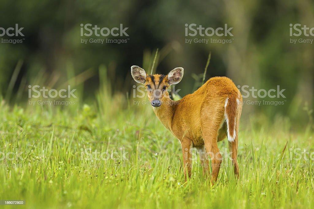 Barking deer stair at us royalty-free stock photo