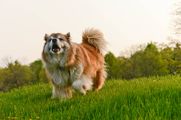 Barking Dog On A Hill stock photo