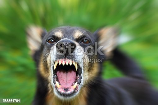 Barking enraged shepherd dog outdoors. Blurred effect is made for reason.
