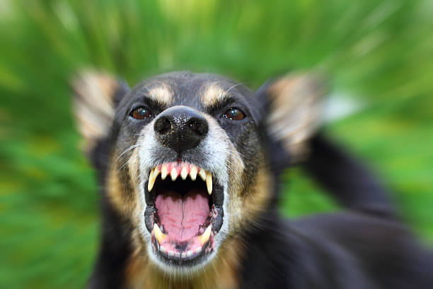 barking dog - aggression stock pictures, royalty-free photos & images