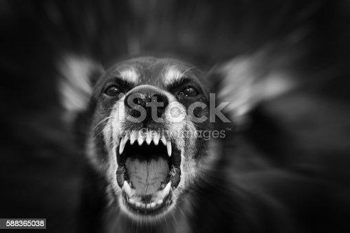 istock Barking dog 588365038