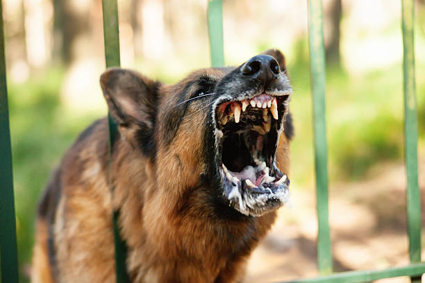 Barking german shepherd stock photo
