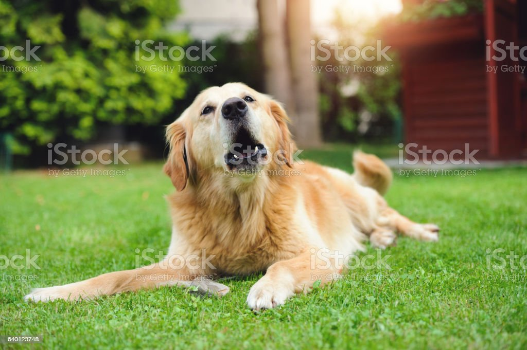 Barking Golden Retriever stock photo