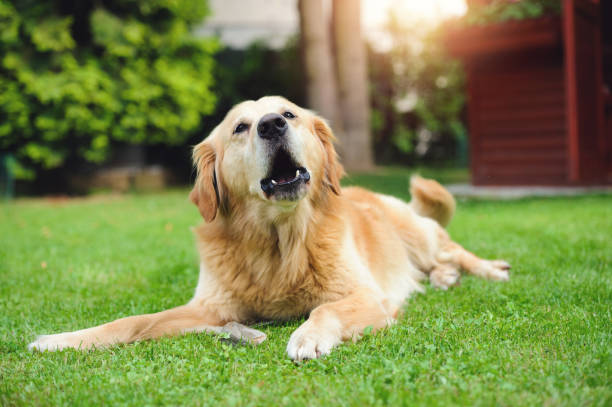 Barking Golden Retriever - Photo