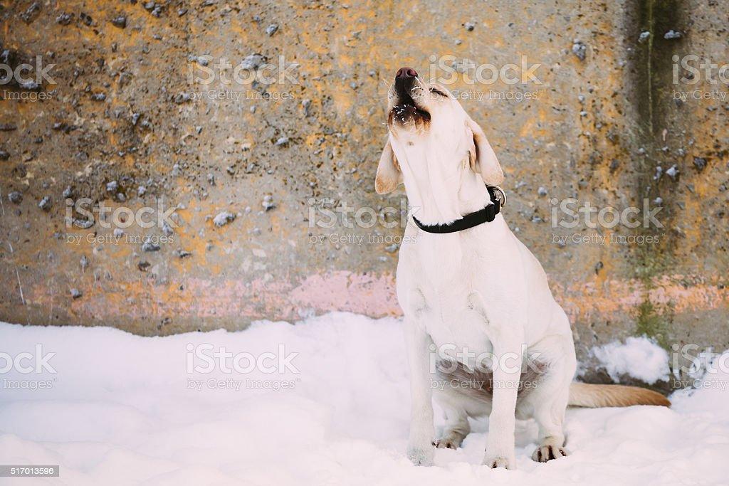Barking labrador dog sitting outdoor in snow, winter season. stock photo