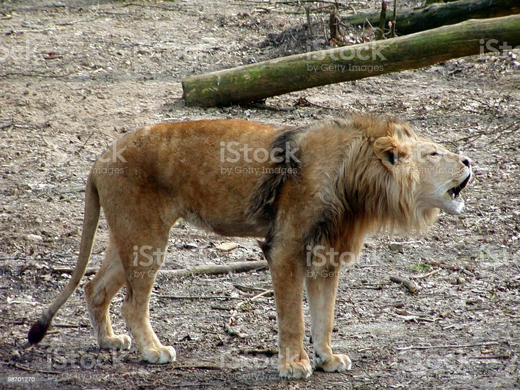Barking Lion royalty-free stock photo