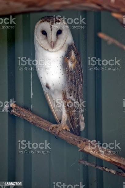 Barking owl picture id1135607595?b=1&k=6&m=1135607595&s=612x612&h=ie7zhbntmjujmdcadxbebxejanqnvz r2 735pasvgs=