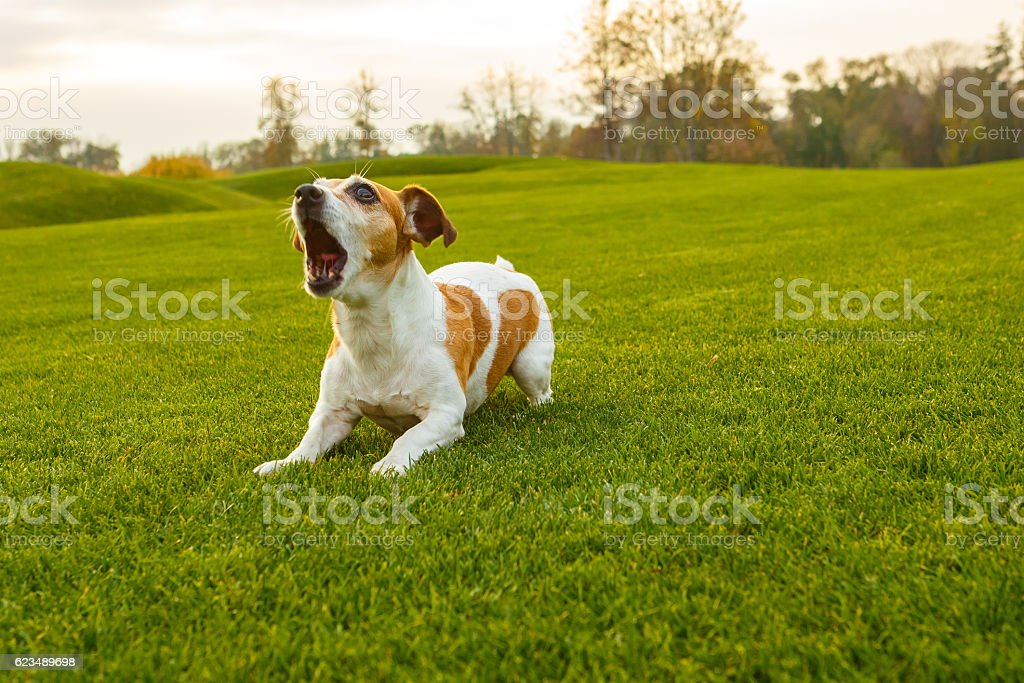 barking pet stock photo