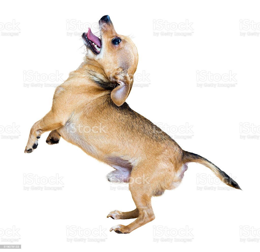 Barking Russkiy Toy Terrier stock photo
