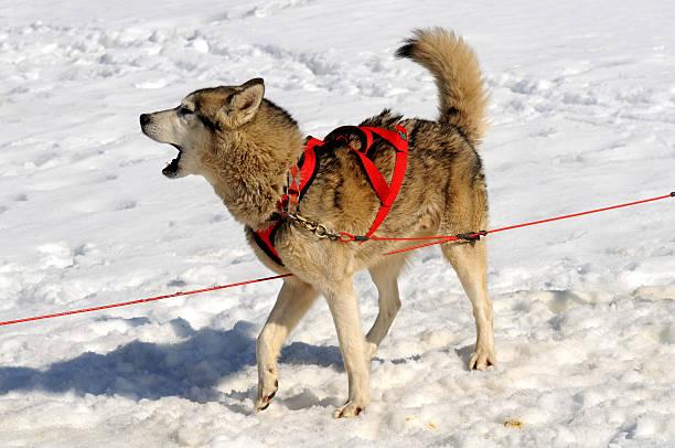Schlitten-Hund bellen – Foto
