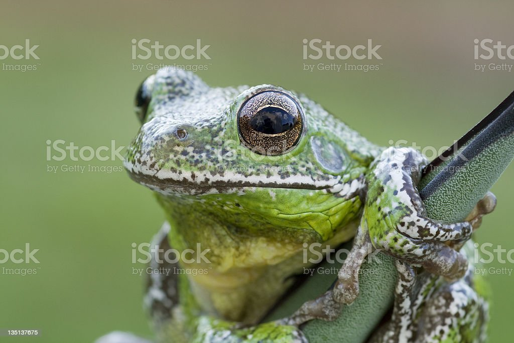 Barking Tree Frog royalty-free stock photo