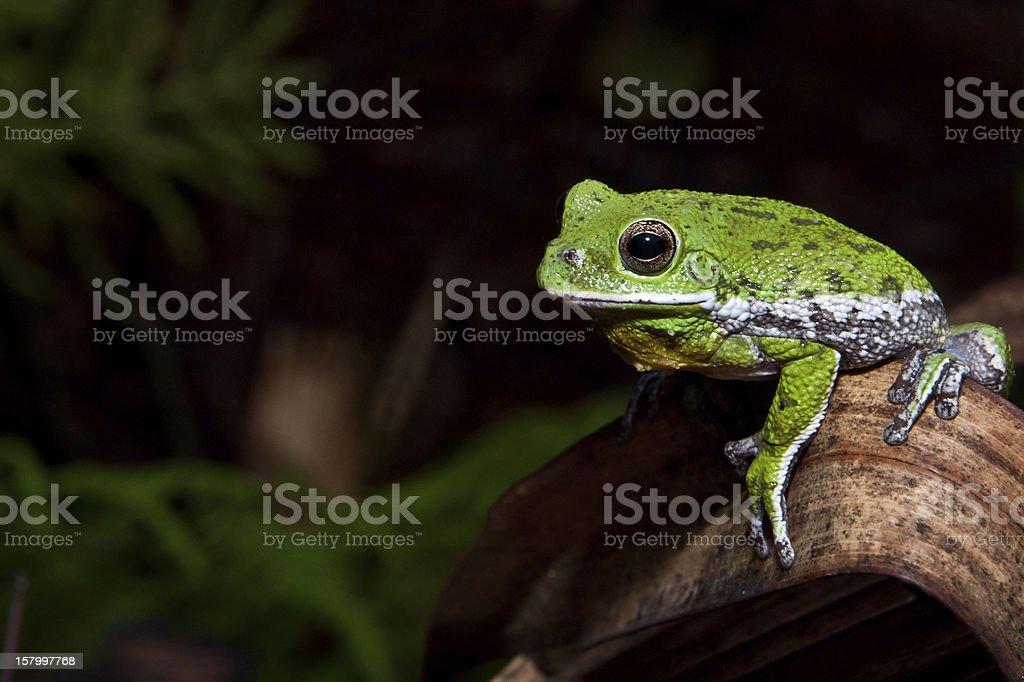Barking Treefrog royalty-free stock photo