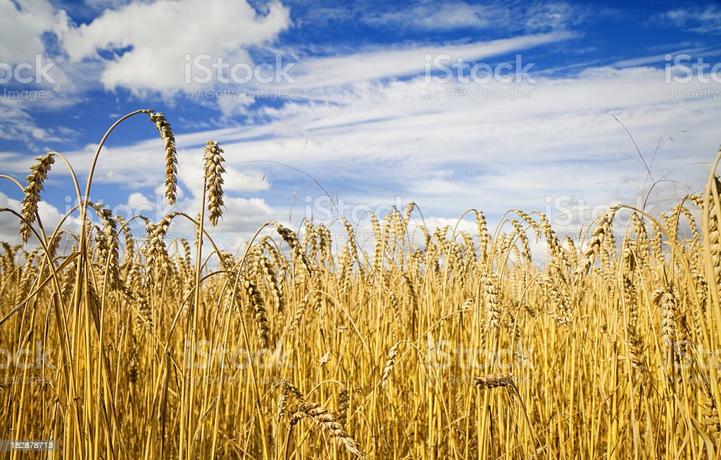 Barley against an interesting sky in summer stock photo