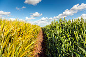 Yellow barley and green wheat fields, a beautiful early summer landscape.