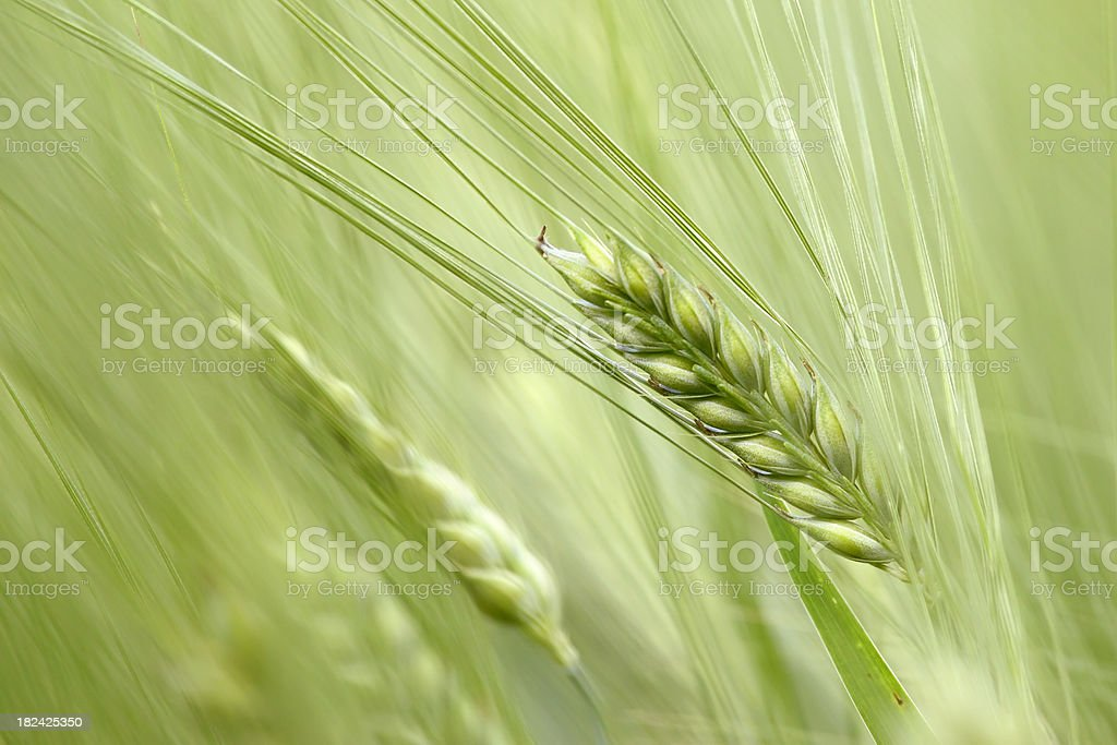 Barley background royalty-free stock photo