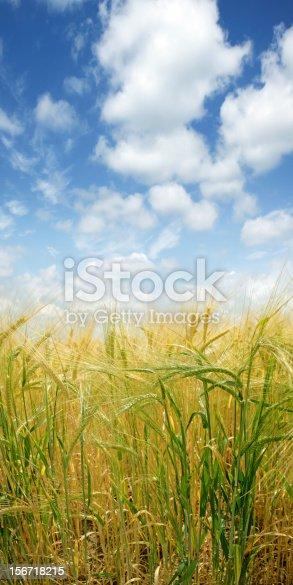 istock XXXL barley close-up 156718215