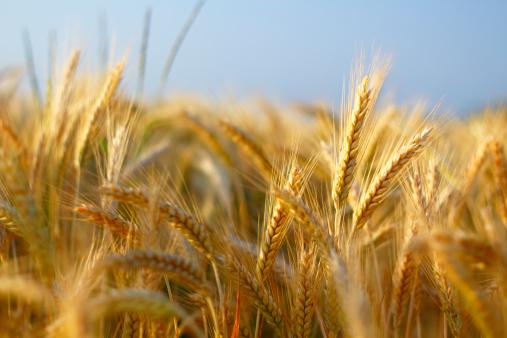 Closeup of barley wheat.