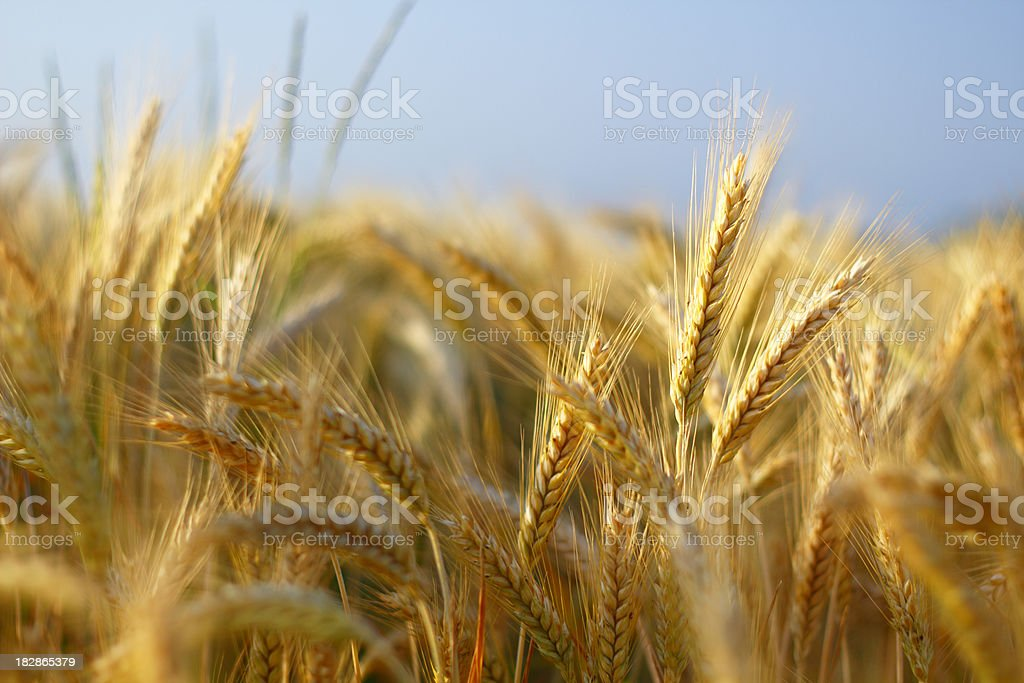 Barley closeup stock photo