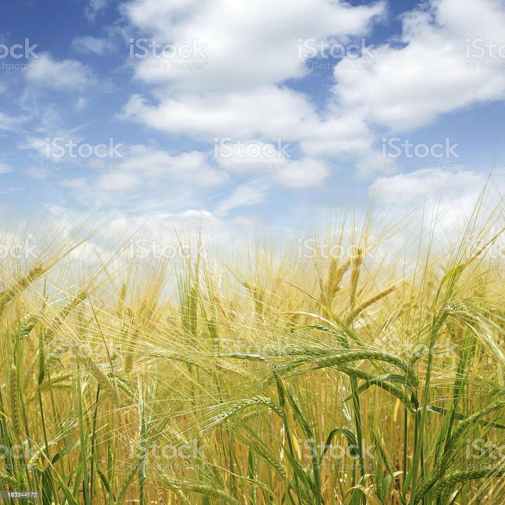 XL barley close-up stock photo