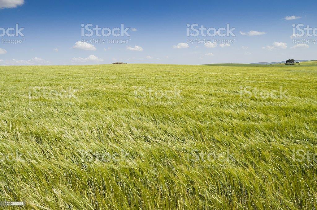 Barley crop stock photo