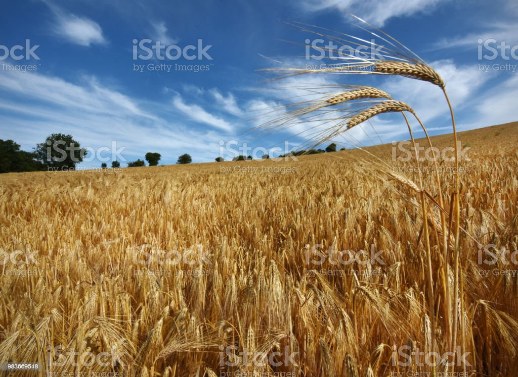 Barley crop stock photo