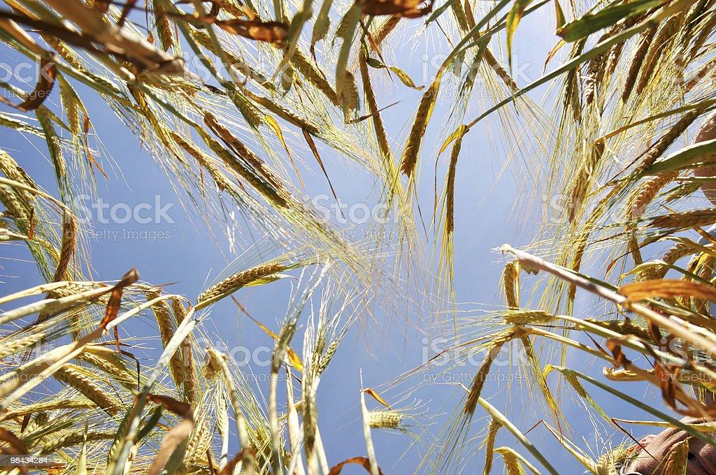 Barley Crop royalty-free stock photo