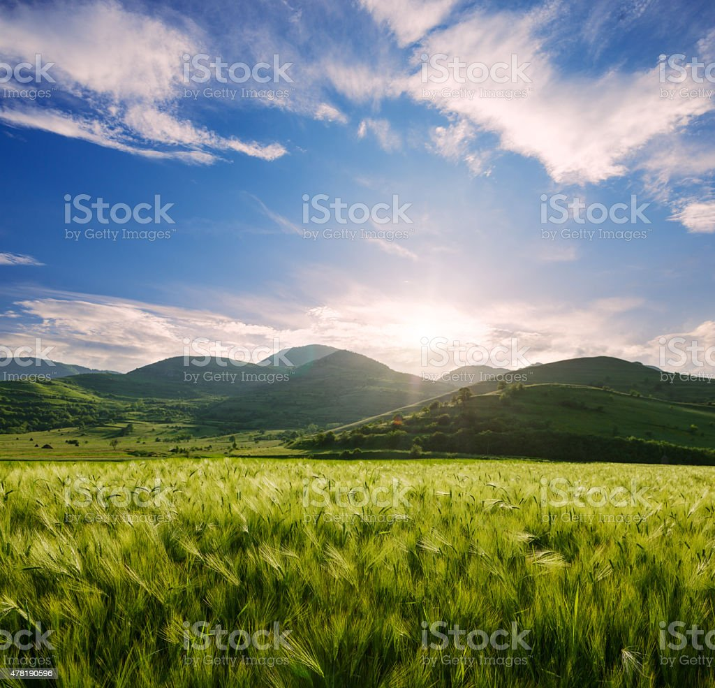 Barley  field and hills in the sunset stock photo