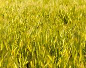 Green barley field, late springtime.
