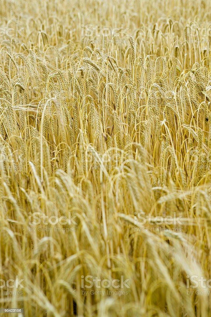Barley field, close up royalty-free stock photo