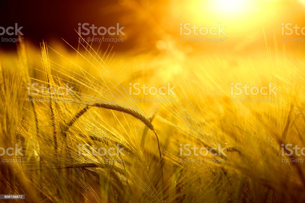 Barley field in golden glow of evening sun stock photo